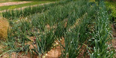 Growing Onions in Ireland