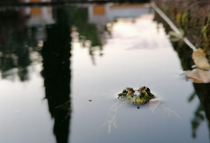 Rã no tanque de peixes - natureza